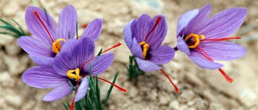 Safranpflanze kaufen